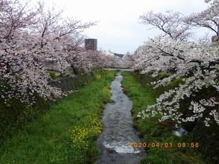 RIMG8532桜20200401.jpg