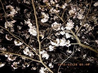 sakura201503291.jpg