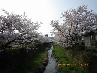 sakura20180401 (1).jpg