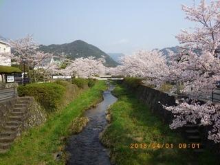 sakura20180401 (2).jpg