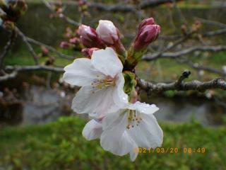 sakura2020032001.jpg