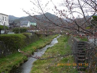 sakura2020032002.jpg
