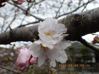 sakura20200328 (1).jpg