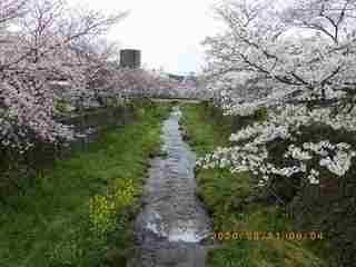 sakura2020033101.jpg