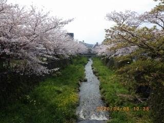 sakura20200408 (1).jpg