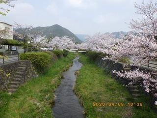sakura20200408 (2).jpg