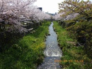 sakura20200409 (1).jpg