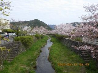 sakura20200411 (2).jpg