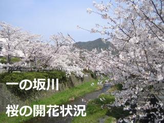 一の坂川・桜の開花状況